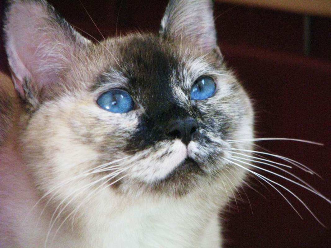 seal tortie siamese